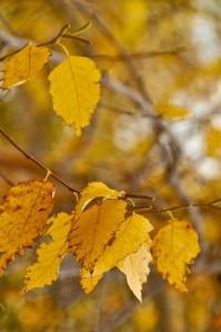 birch leaves 2